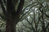 blvd-oak.jpg