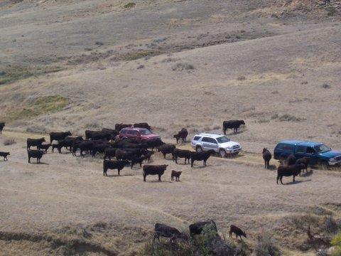 cows-around-car.jpeg