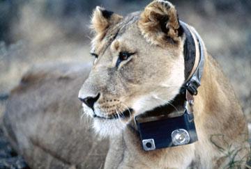 Crittercam Lion