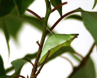 spicebush-swallowtail-pupae-resize.jpg