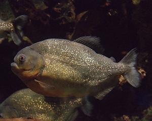 Orinoco Piranha, Pygocentrus cariba