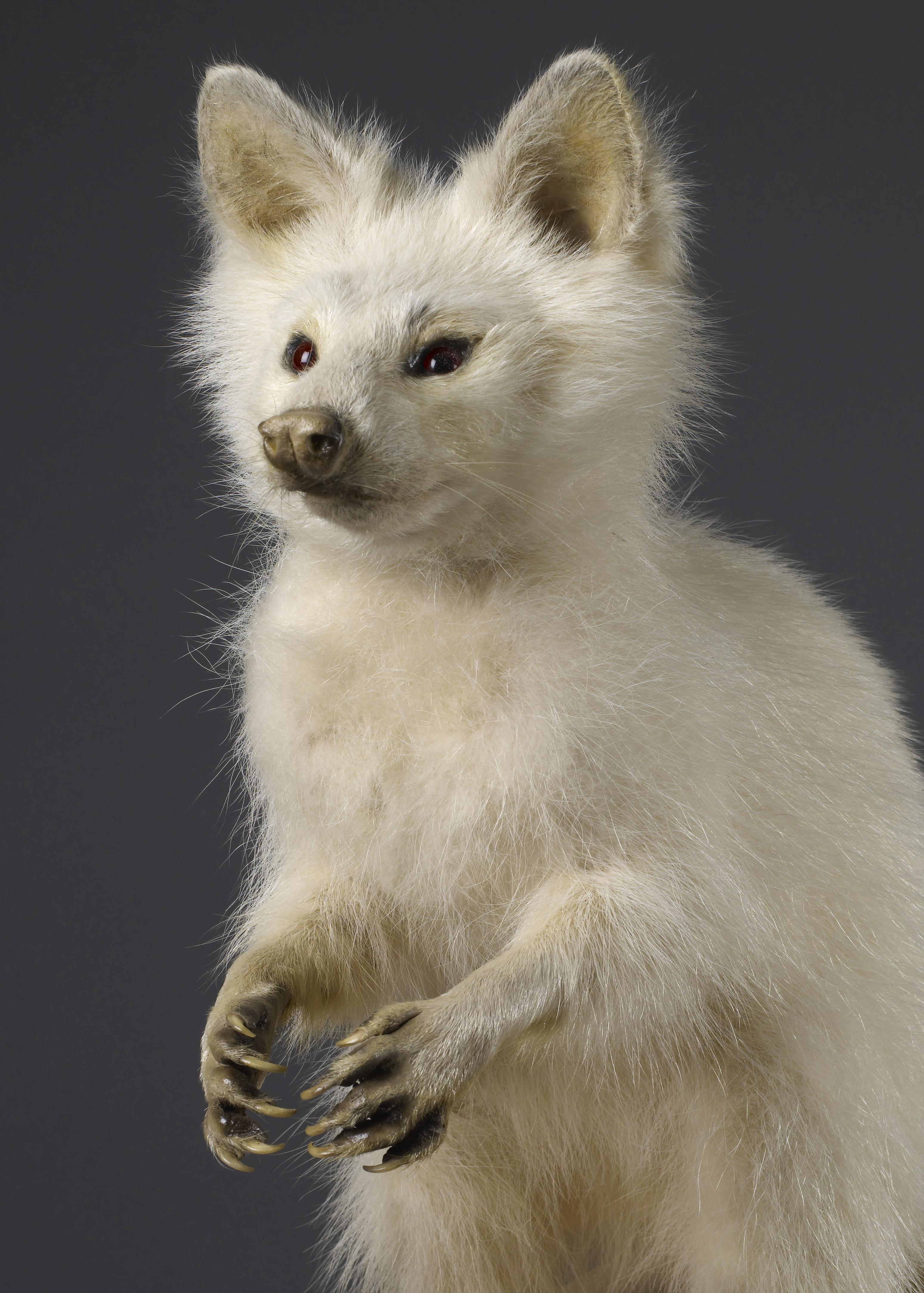 albino-racoon-original