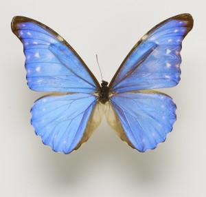 diana-blue-morpho-5x6