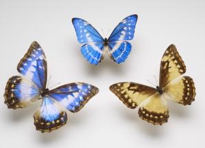 Cypris Blue Morpho-4x6