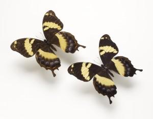 Jamaican Giant Swallowtail-4x6