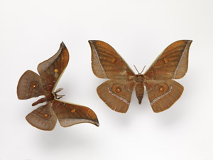 Muga Silk Moth - Antheraea assamensis resize