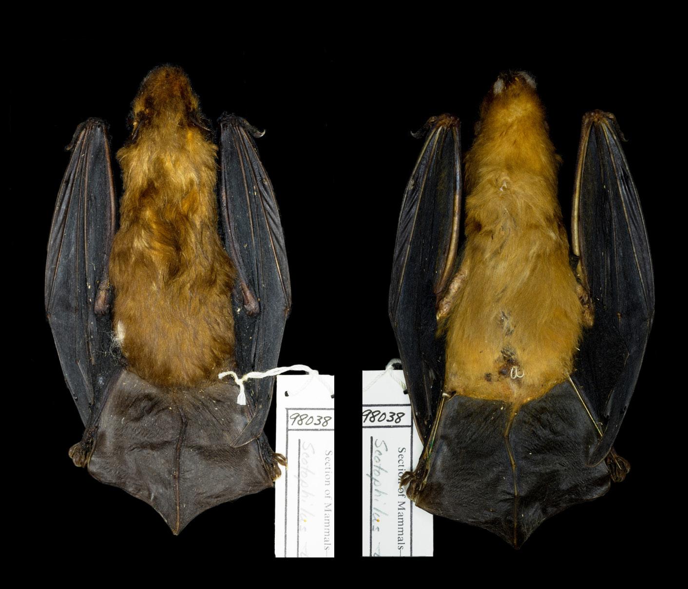 Study skin of Scotophilus trujilloi holotype.