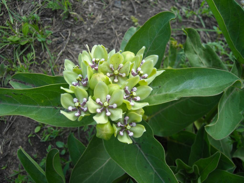 Aslepias viridis
