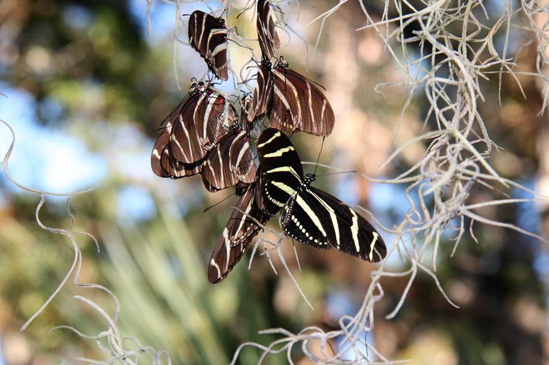 zebra-longwing-roosting-fmel-9