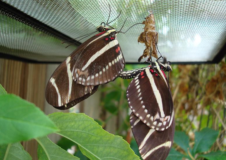 zebra_longwings_mating_elizabeth