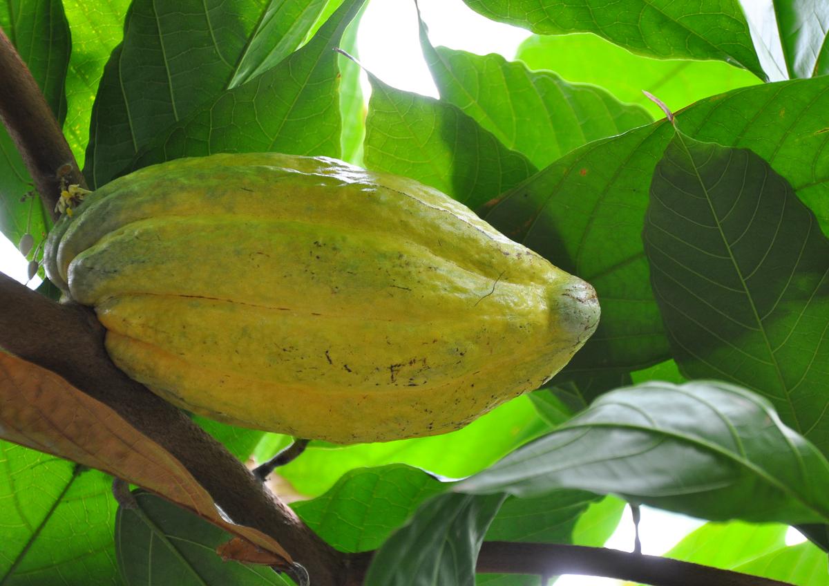 FruitCacao