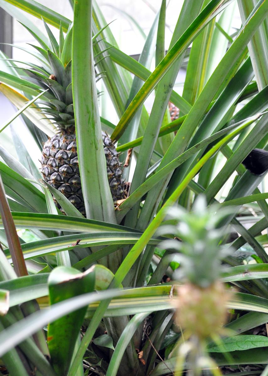 FruitPina