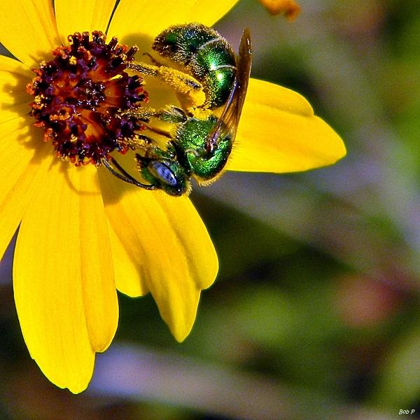 Sarı bir çiçek üzerinde tozlaşan ter arı
