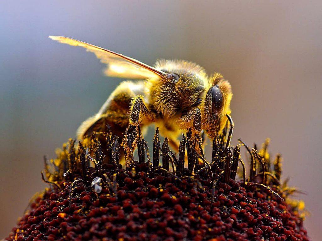 Closeup of a Honey Bee pollinating