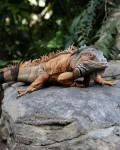 Charro Iguana